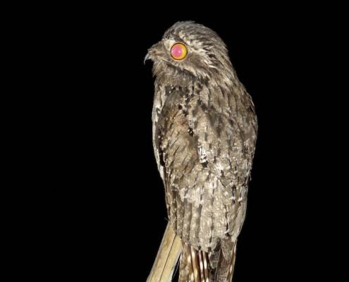 ?Nyctibius griseus - Nictibio Común - Common Potoo - Ibijau gris