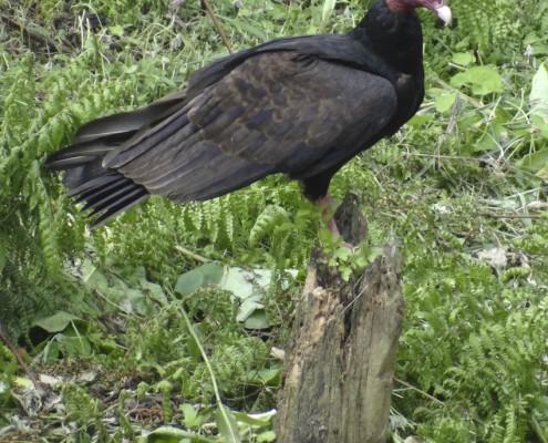 Cathartes aura ruficollis / Gallinazo Cabecirrojo / Urubu à tête rouge / Turkey Vulture