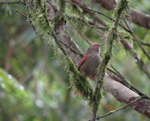 Cranioleuca erythrops - Red-faced Spinetail - Colaespina Carirroja