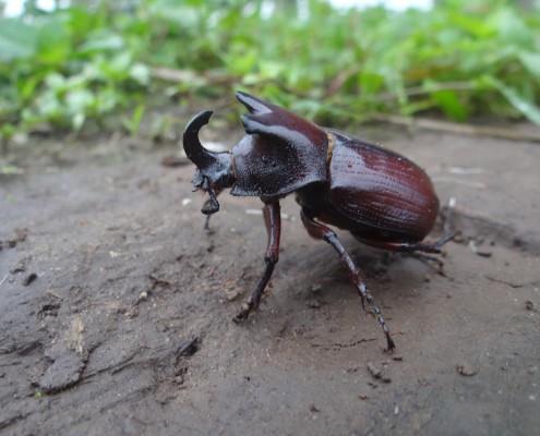 Megaceras sp. / Scarabée-rhinocéros / Rhinoceros Beetle