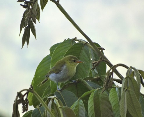Hemithraupis guira ♀- Guira Tanager - Tangara Guira