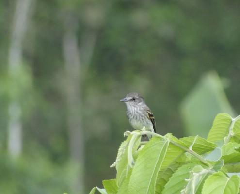 Myiophobus fasciatus crypterythrus / Mosquerito Pechirrayado / Moucherolle fascié / Bran-colored Flycatcher