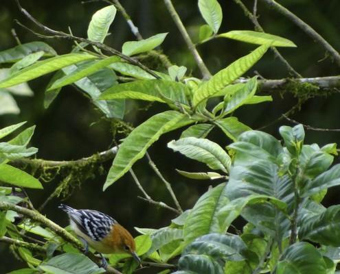 Myrmotherula pacifica ♀ / Hormiguerito del Pacifico / Myrmidon du Pacifique / Pacific Antwren