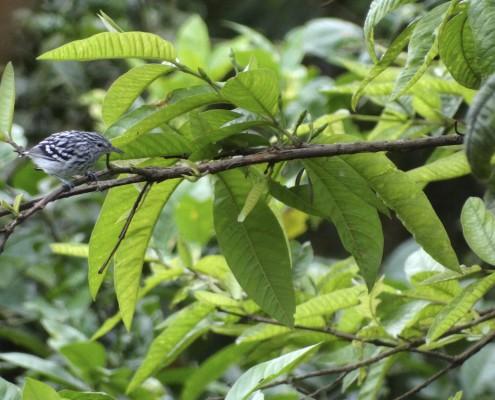 Myrmotherula pacifica ♂ / Hormiguerito del Pacifico / Myrmidon du Pacifique / Pacific Antwren