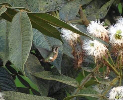 ?Chaetocercus bombus ♀ / Estrellita Chica / Little Woodstar / Colibri Bourdon