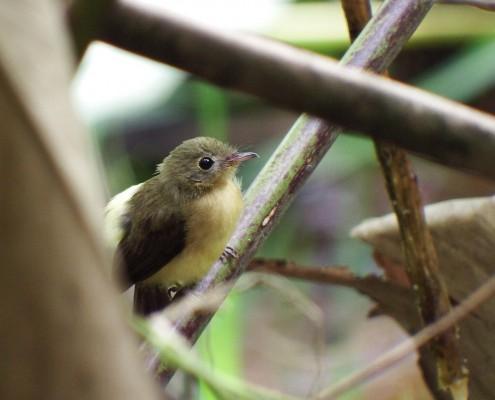 Myiobius atricaudus - Mosquerito Colinegro - Black-tailed Flycatcher - Moucherolle à queue noire