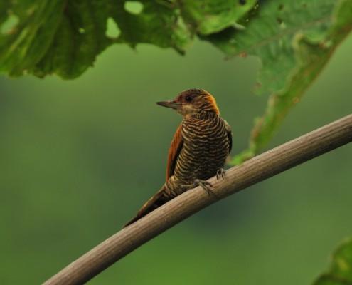 ?Veniliornis kirkii ♀ / Red-rumped Woodpecker /