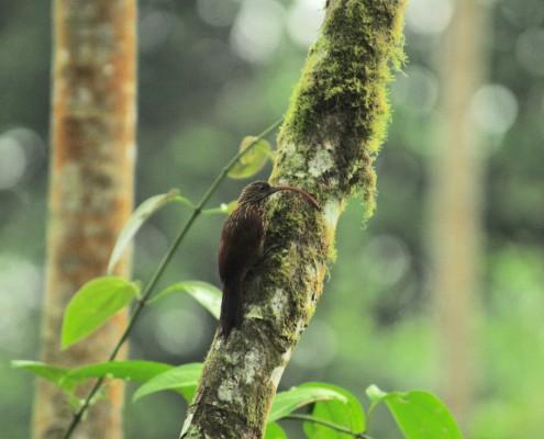 Campylorhamphus trochilirostris / Red-billed Scythebill /