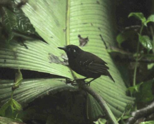 Poliocrania exsul / Chestnut-backed Antbird / Hormiguero dorsicastaño /