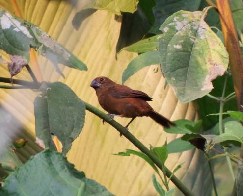Oryzoborus angolensis funereus♀ / Semillero Menor / Lesser Seed-Finch / Sporophile à bec fort