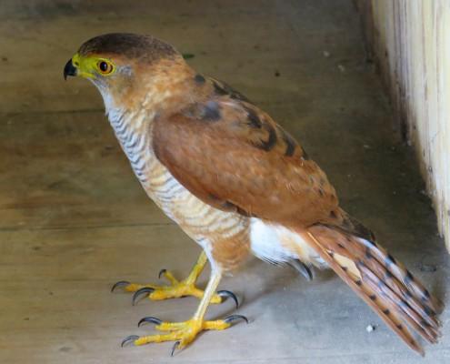 Accipiter superciliosus Juv / Azor Chico / Tiny Hawk / Epervier nain