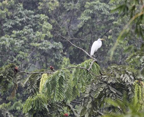 Ardea alba / Garceta Grande / Grande Aigrette / Western Great Egret