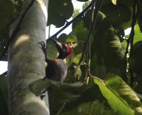 Campephilus haematogaster - Crimson-bellied Woodpecker - Pic superbe - Carpintero Carminoso