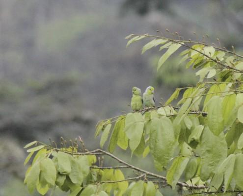 Forpus coelestis / Periquito del Pacifico / Toui Céleste / Pacific Parrotlet