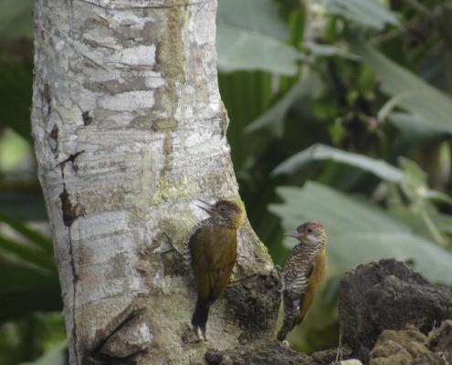 Veniliornis kirkii / Carpintero Lomirrojo / Pic à croupion rouge / Red-rumped Woodpecker