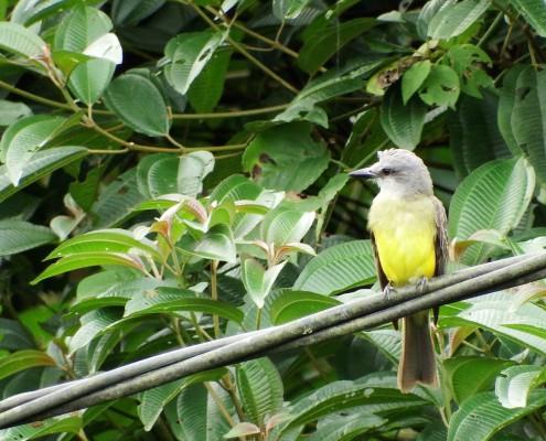 Tyrannus melancholicus - Trano Tropical - Tropical Kingbird - Tyran Mélancolique