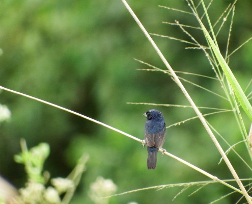 Volatinia jacarina ♂ - Semillerito Negriazulado - Blue-black Grassquit - Jacarini noir