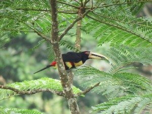 Pteroglossus erythropygius - Arasari Piquipalido - Pale-mandibled Araçari - Araçari à bec clair