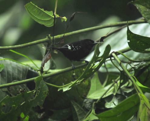 Microrhopias quinexensis ♂ / Dot-winged Antwren /