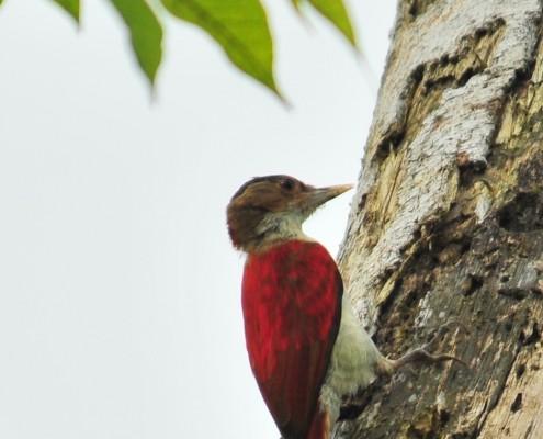 ?Veniliornis callonotus /Scarlet-backed Woodpecker /