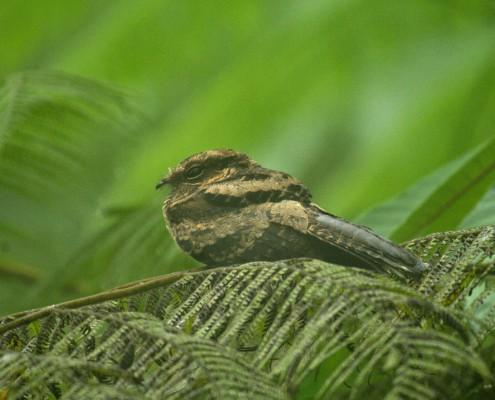 Nyctidromus albicollis / Parauque / Chotacabras Pauraque /Engoulevent pauraqué