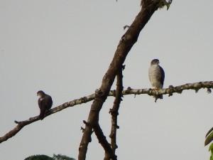 Accipiter superciliosus / Azor Chico / Tiny Hawk / Epervier nain