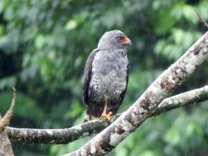plumbeus hawk